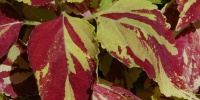 multicolored tree/plant natural leaves